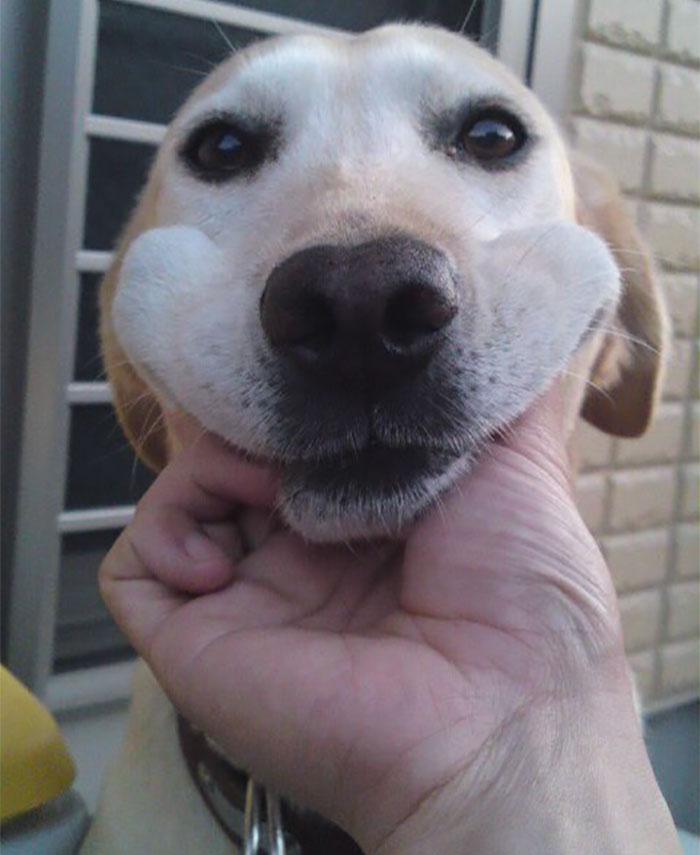 Щекастые и пушистые! 25 фото веселых собак, которые без ума от массажа щёк) рис 24