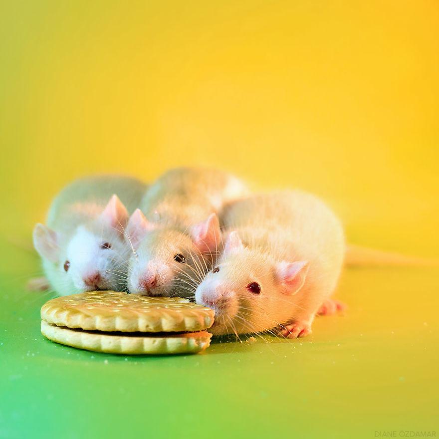 Милота с хвостиком!) Эти крыски доказывают, что грызуны - самые милые питомцы рис 25
