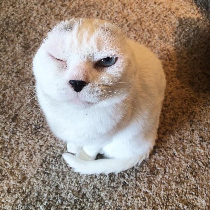 """""""Он похож на тюленёнка..."""" Девушка решила взять из приюта лечебного кота - и не прогадала! рис 12"""