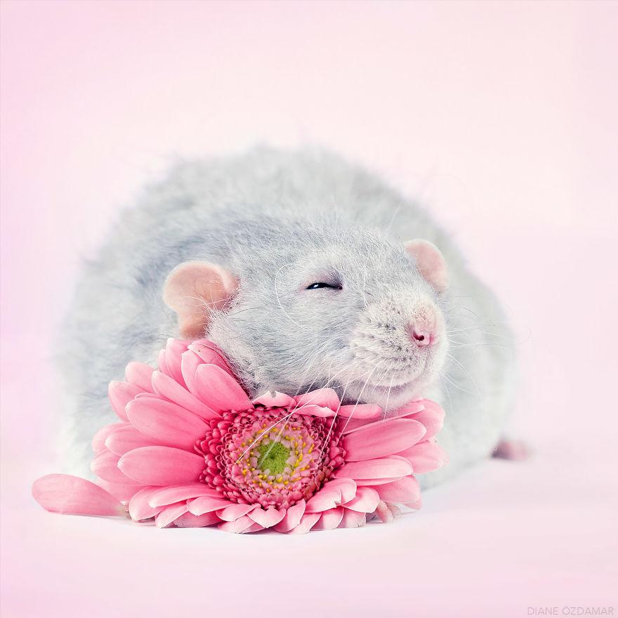 Милота с хвостиком!) Эти крыски доказывают, что грызуны - самые милые питомцы рис 3