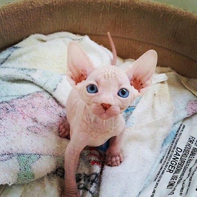 Милые и… не пушистые! Котики сфинксы, которые покоряют своей необычной внешностью рис 4