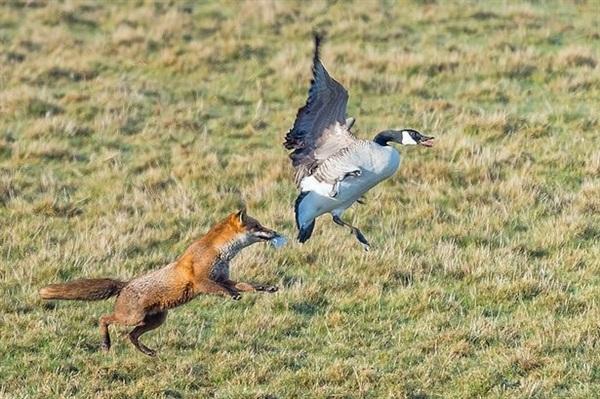 Хитрый рыжий незнакомец! 11 фактов о лисах, про которые ты не знаешь :) рис 8