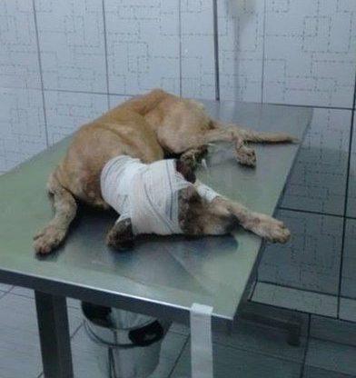 Нет таких ран, за которые он бы не взялся! Защитник животных из Бразилии спас безнадёжного щенка ) рис 5