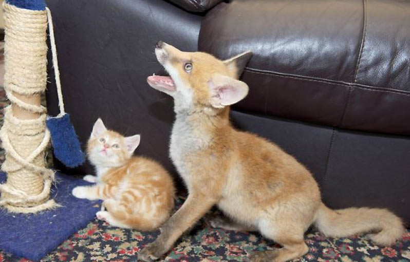 Их нашли на обочине! Три брошенных котёнка и слепой лисёнок подарили друг другу семью) рис 3