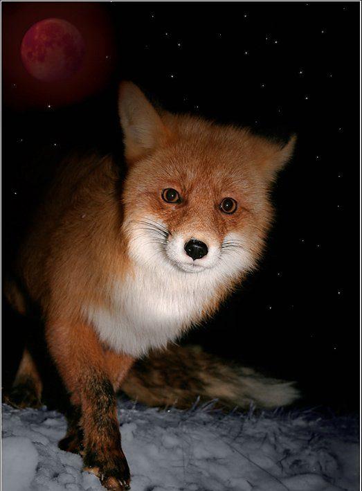 Хитрый рыжий незнакомец! 11 фактов о лисах, про которые ты не знаешь :) рис 4