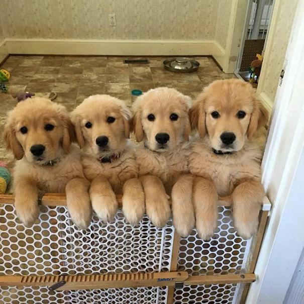 Солнышки! Эти щенки золотистого ретривера заставят улыбнуться каждого! рис 6