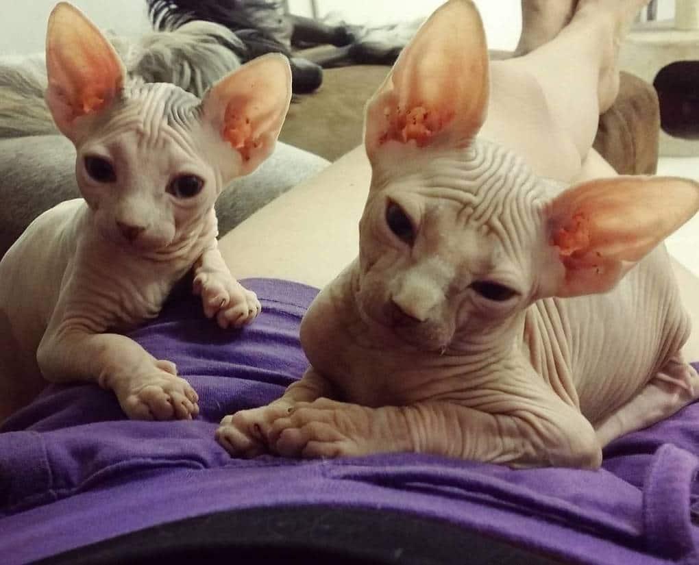 Милые и… не пушистые! Котики сфинксы, которые покоряют своей необычной внешностью рис 6