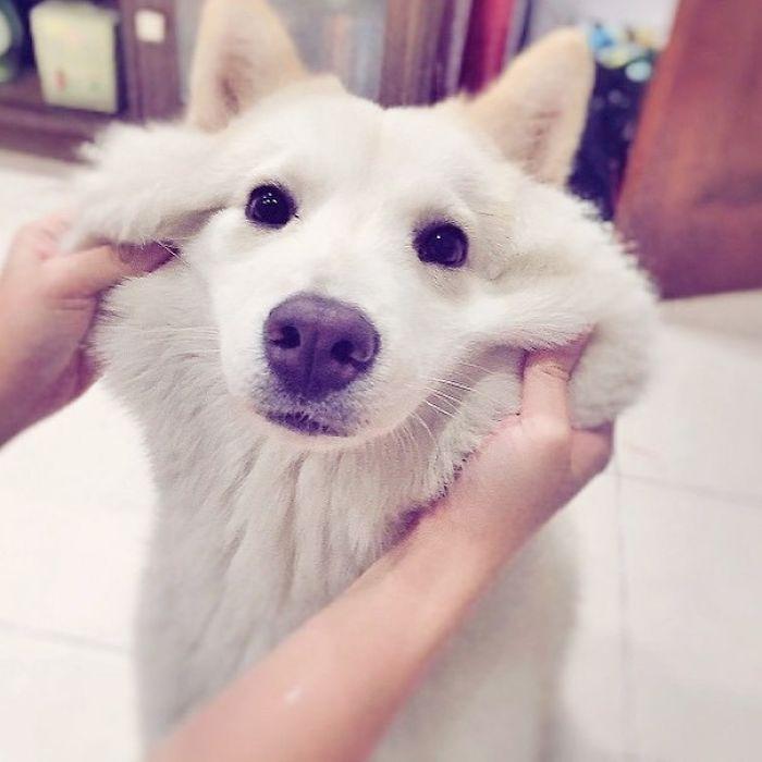 Щекастые и пушистые! 25 фото веселых собак, которые без ума от массажа щёк) рис 6