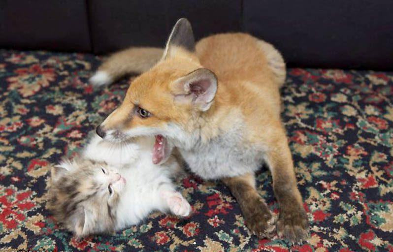 Их нашли на обочине! Три брошенных котёнка и слепой лисёнок подарили друг другу семью) рис 4