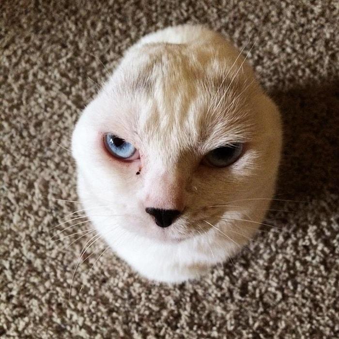 """""""Он похож на тюленёнка..."""" Девушка решила взять из приюта лечебного кота - и не прогадала! рис 3"""