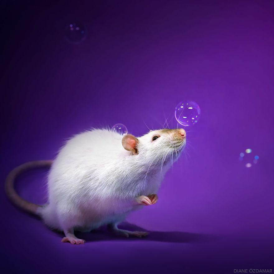 Милота с хвостиком!) Эти крыски доказывают, что грызуны - самые милые питомцы рис 7