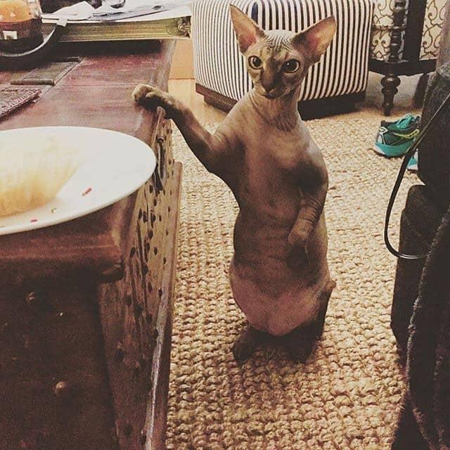 Милые и… не пушистые! Котики сфинксы, которые покоряют своей необычной внешностью рис 7