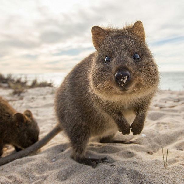 Самая искренняя улыбка в мире животных :) Ох уж эти удивительные квокки! рис 7