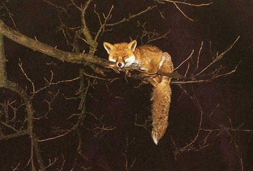 Хитрый рыжий незнакомец! 11 фактов о лисах, про которые ты не знаешь :) рис 2