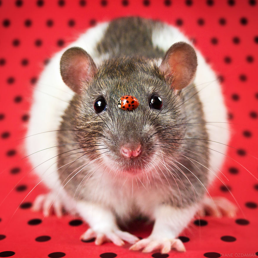 Милота с хвостиком!) Эти крыски доказывают, что грызуны - самые милые питомцы рис 8
