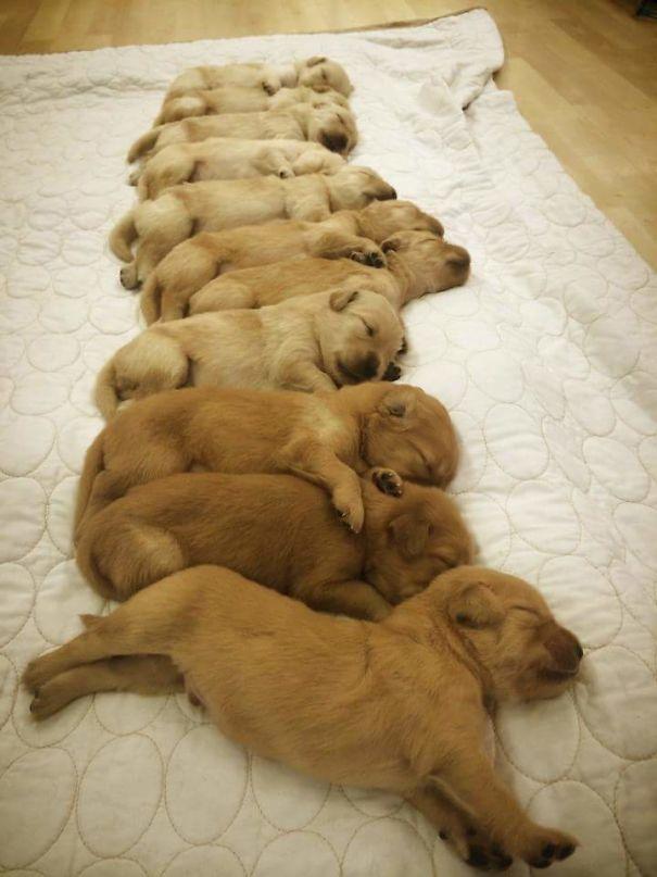 Солнышки! Эти щенки золотистого ретривера заставят улыбнуться каждого! рис 9