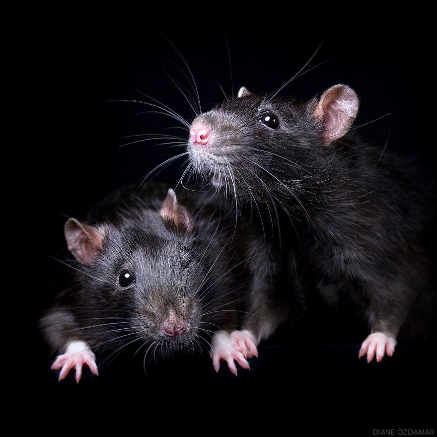 Милота с хвостиком!) Эти крыски доказывают, что грызуны - самые милые питомцы рис 9