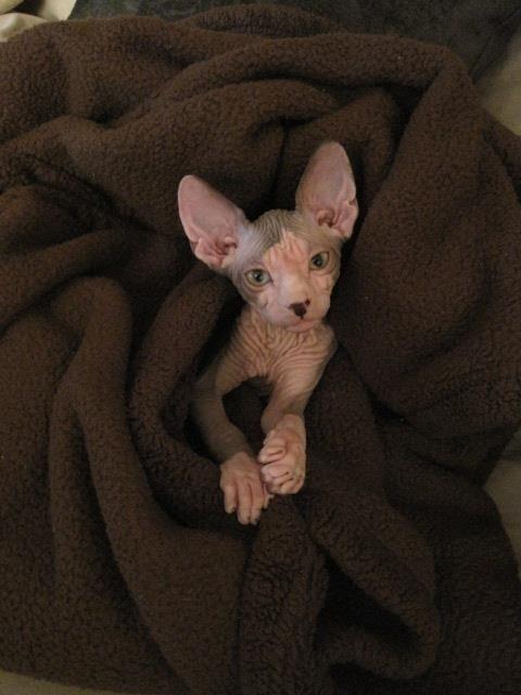 Милые и… не пушистые! Котики сфинксы, которые покоряют своей необычной внешностью рис 9