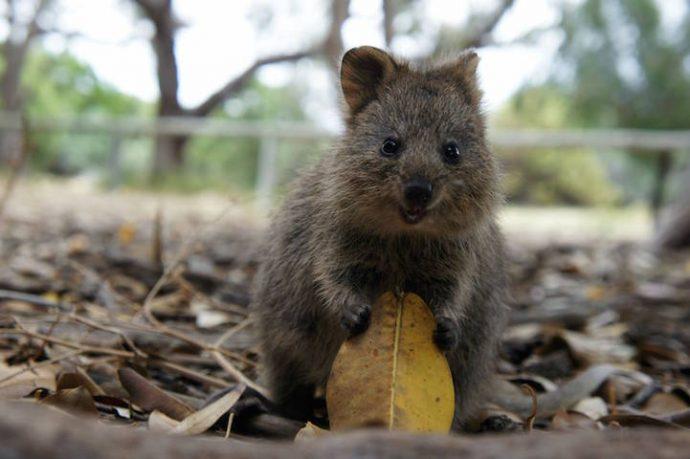 Самая искренняя улыбка в мире животных :) Ох уж эти удивительные квокки! рис 9