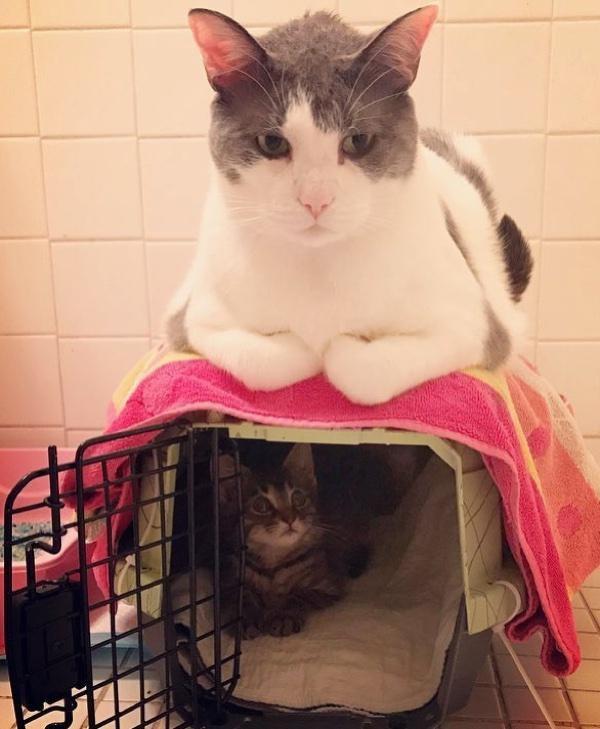 Чарли и шоколадная... аура! Сладкий котик стал папой 25 котят :) рис 5