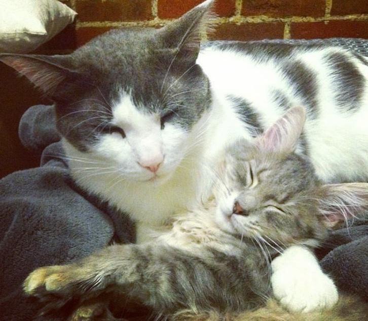 Чарли и шоколадная... аура! Сладкий котик стал папой 25 котят :) рис 10