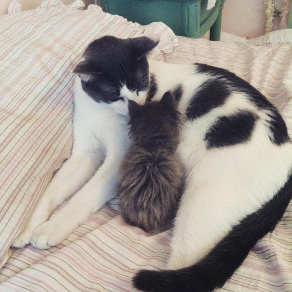 Чарли и шоколадная... аура! Сладкий котик стал папой 25 котят :) рис 8