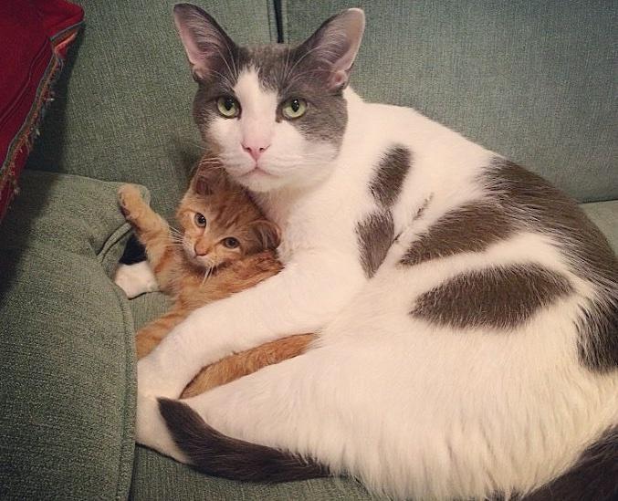 Чарли и шоколадная... аура! Сладкий котик стал папой 25 котят :) рис 4
