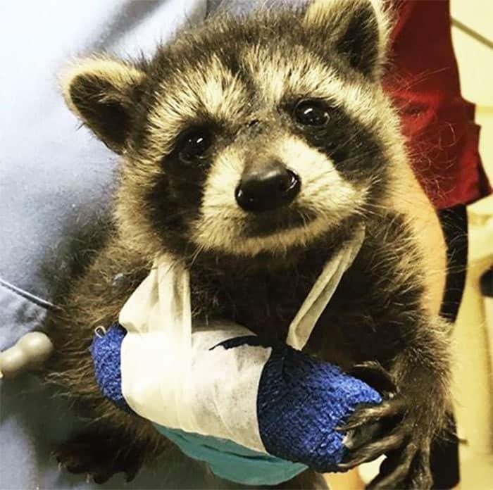 adorable-cute-raccoons-58-5956377a1d986__700