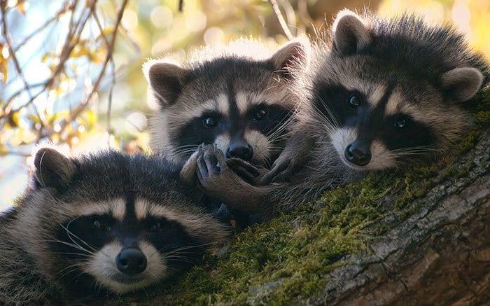 adorable-cute-raccoons-6-595639c4ec755__700