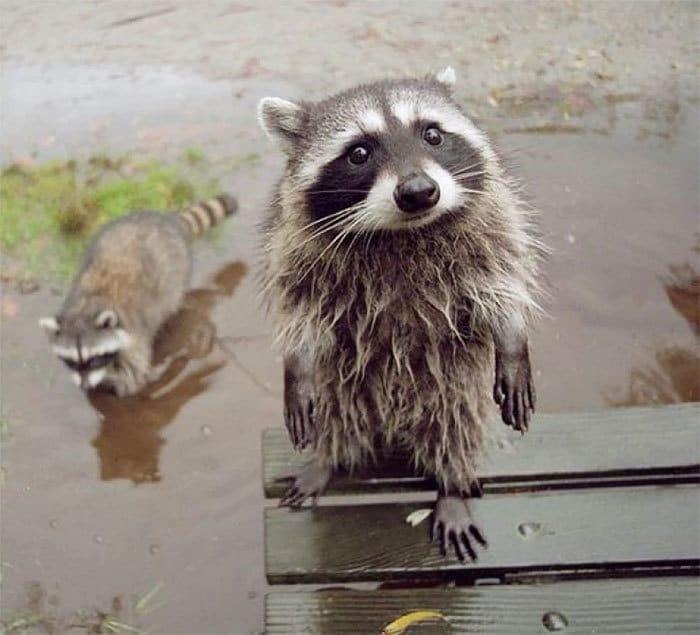 adorable-cute-raccoons-68-595642de22445__700