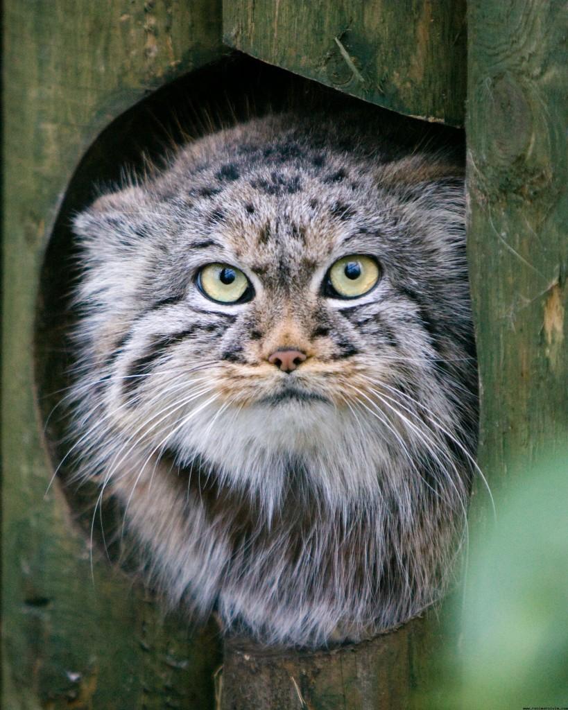 pallas-kedisi-resimleri-4-819x1024