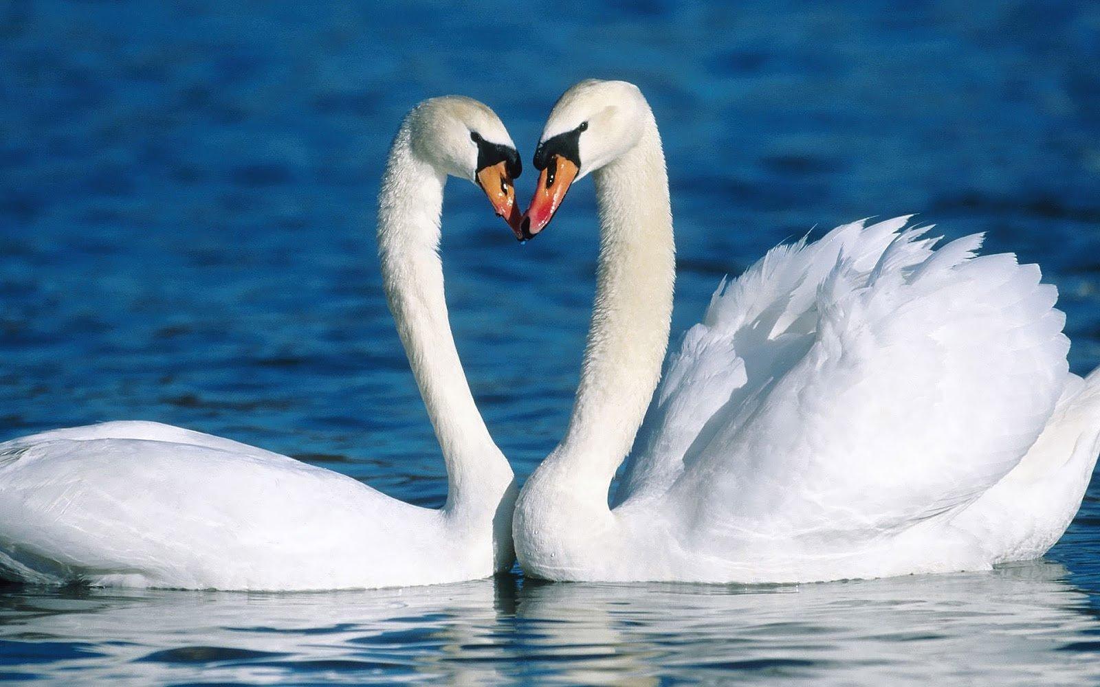 """""""Я буду любить тебя вечно!"""" Пары-однолюбы из мира природы :) рис 6"""
