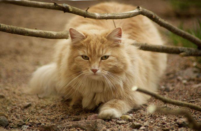 Норвежская лесная кошка (Norwegian Forest Cat) 4