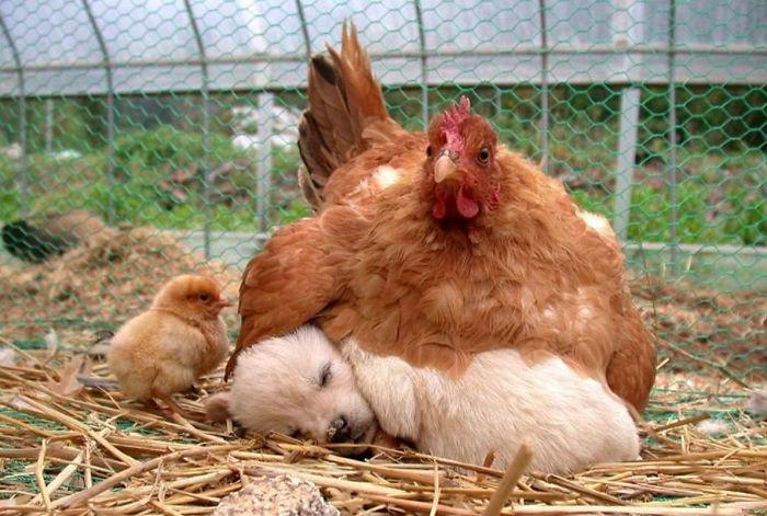 Универсальные мамочки! :) Эти курочки готовы заботиться обо всех брошенных детках без исключения! ))