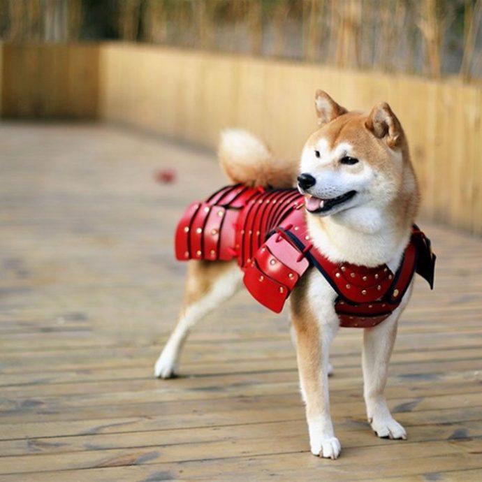 """""""Ой, а собака в самурая превратилась!"""" Стоит ли надевать на питомца модные японские """"доспехи""""? :)"""
