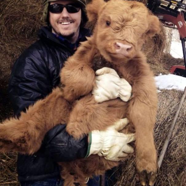 Серьёзно? 25 фото, доказывающих, что коровы – просто большие собаки! :)