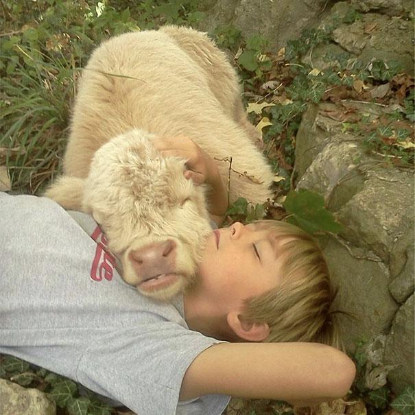 Серьёзно? 25 фото, доказывающих, что коровы – просто большие собаки! :) рис 13