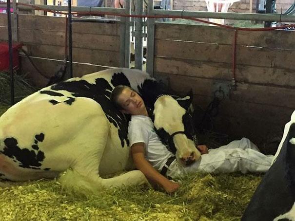 Серьёзно? 25 фото, доказывающих, что коровы – просто большие собаки! :) рис 14