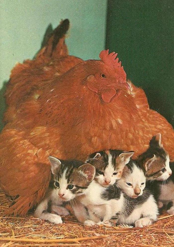 Универсальные мамочки! :) Эти курочки готовы заботиться обо всех брошенных детках без исключения! )) рис 14