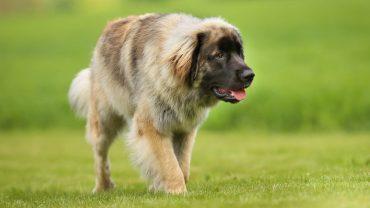 1480925948_leonberger-dog