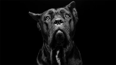 1480964348_cane-corso-dog