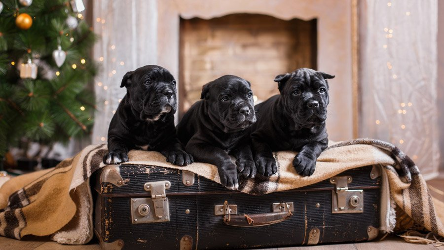 Кане корсо (Cane Corso) щенки