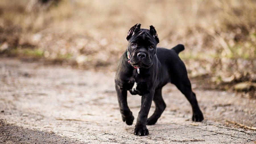 Кане корсо (Cane Corso) щенок