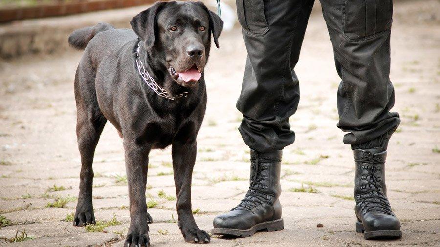 Лабрадор-ретривер (Labrador Retriever) 4