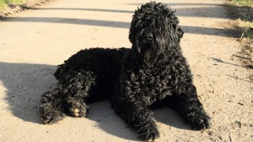 1484656045_black-russian-terrier-dog