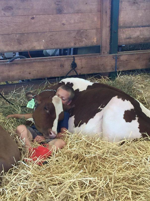 Серьёзно? 25 фото, доказывающих, что коровы – просто большие собаки! :) рис 16