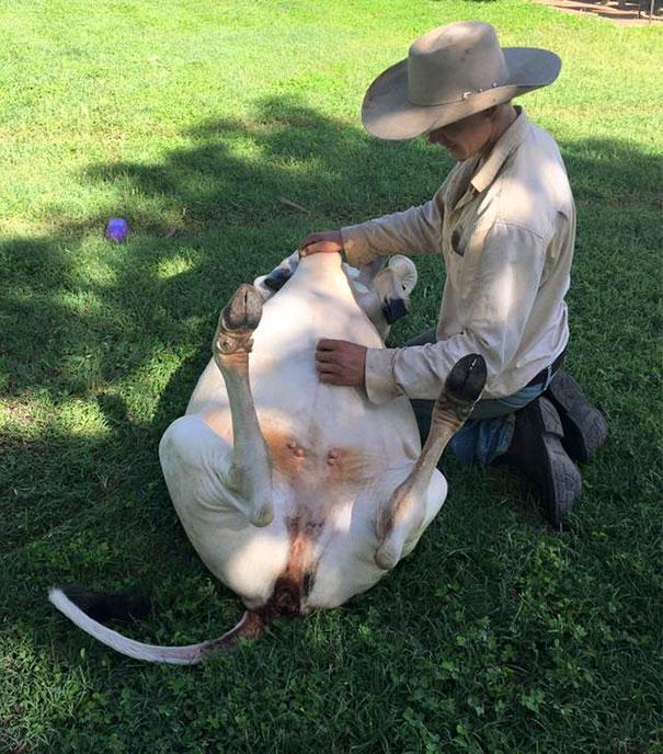 Серьёзно? 25 фото, доказывающих, что коровы – просто большие собаки! :) рис 17