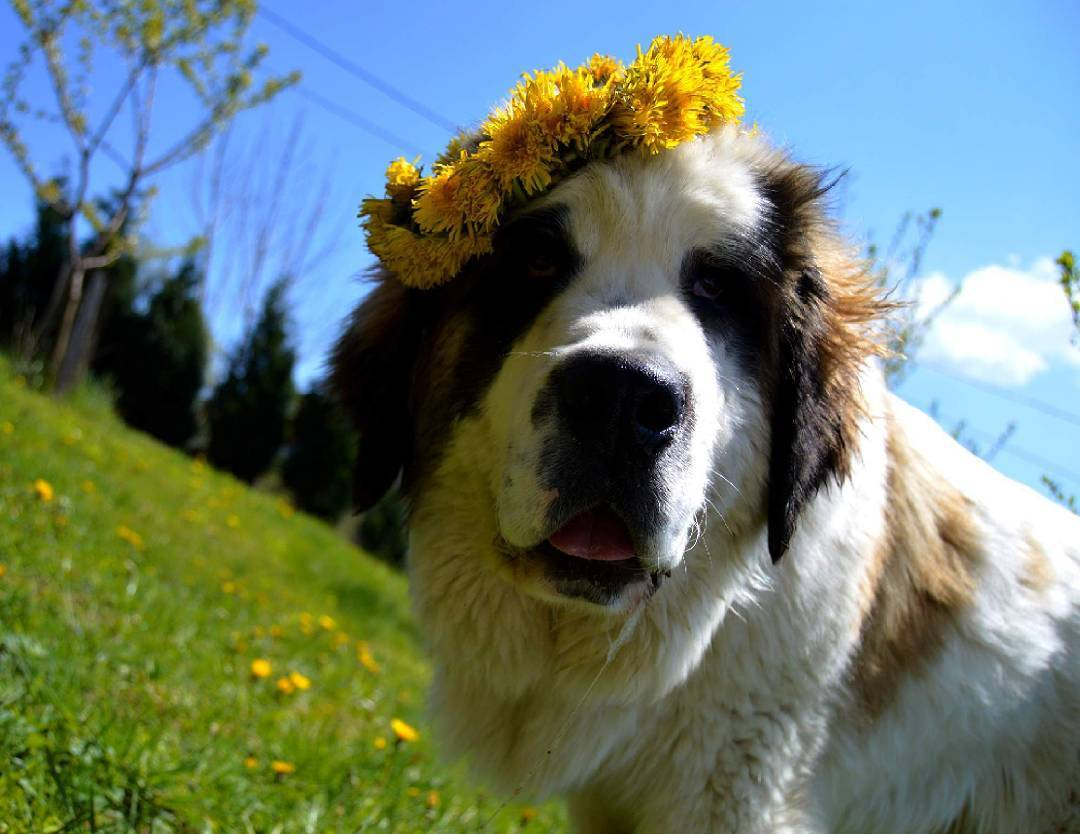 Собака по кличке Берта: жизнь, прикованная к грузовику... рис 2