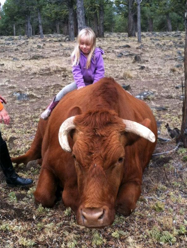Серьёзно? 25 фото, доказывающих, что коровы – просто большие собаки! :) рис 19
