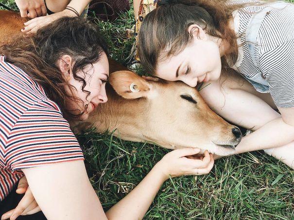 Серьёзно? 25 фото, доказывающих, что коровы – просто большие собаки! :) рис 21